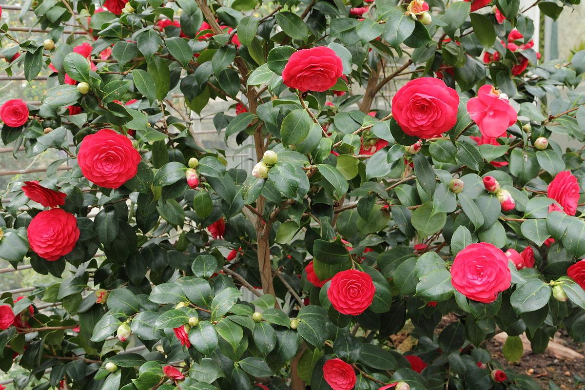 Camellia Plant Plantslive Buy Plants Online India