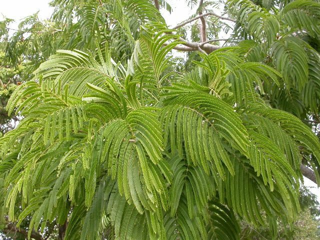 Acacia Catechu Tree Plantslive Buy Plants Online India