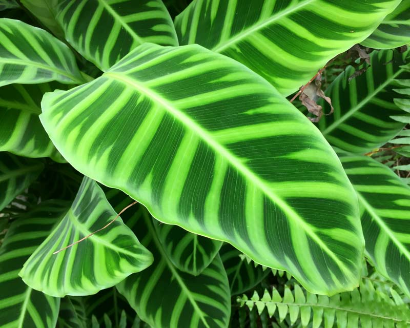 calathea zebrina plantslive buy plants online india. Black Bedroom Furniture Sets. Home Design Ideas