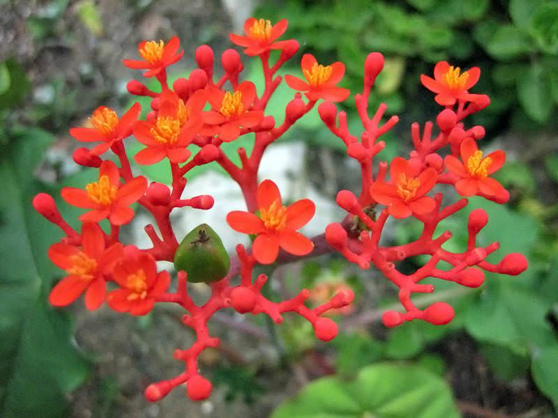 Jatropha Podagrica Plantslive Buy Plants Online India