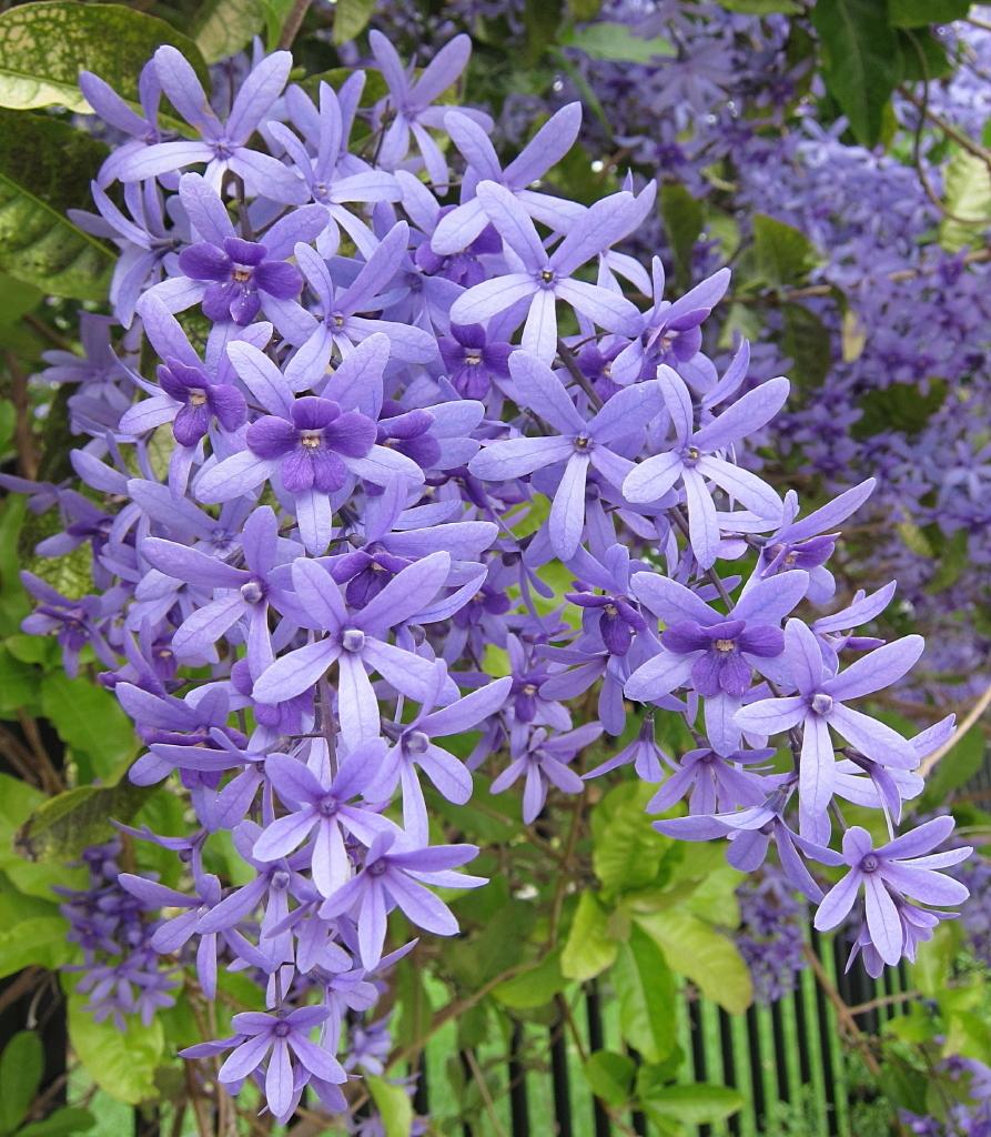 Petrea volubilis plantslive buy plants online india for Buy plans online
