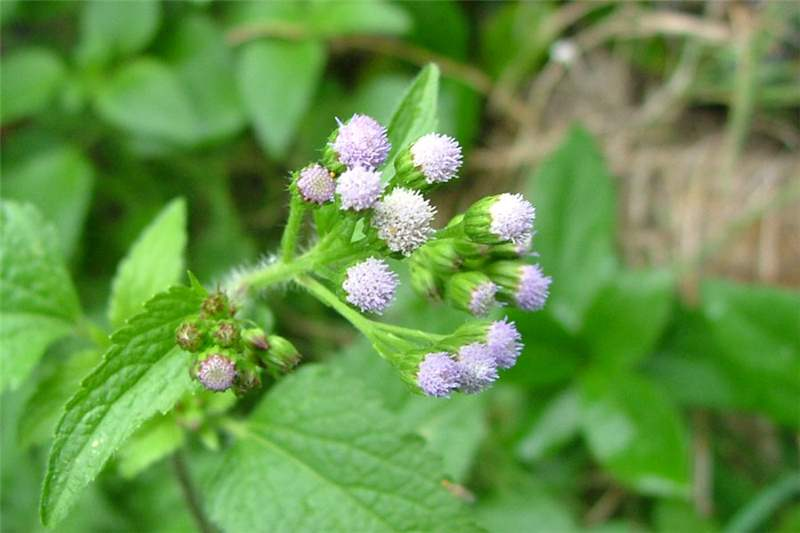 Image result for ageratum