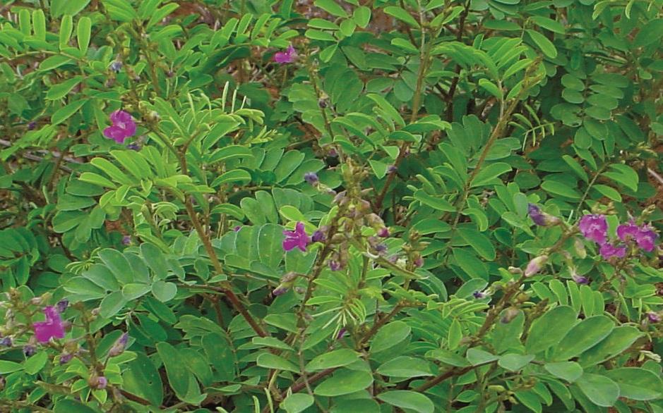 Tephrosia purpurea fish poison plant wild indigo kozhinjil for Plantes on line