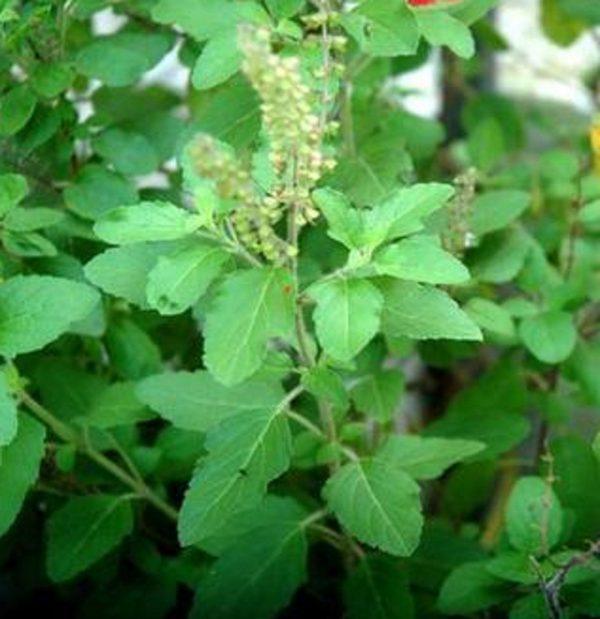 Buy-Rama-Thulasi-plant-plantslive