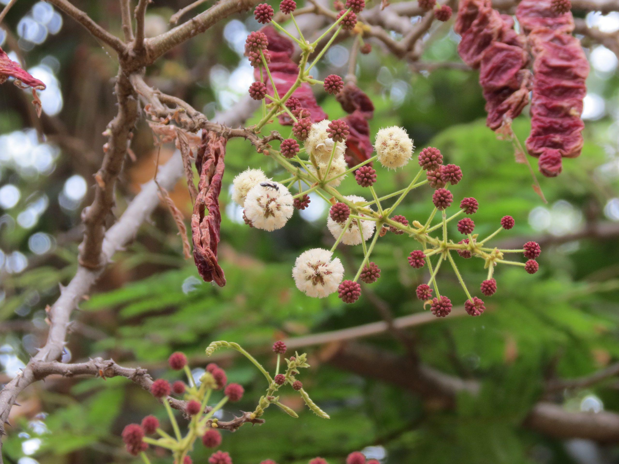 Acacia Sinuata Charmalentha Charmanthala Cheeka Cheekkakka Cheenikka Cheevikka Perumkai Shivakai Ritha Soapnut Acacia Plant Plantslive Buy Plants Online India