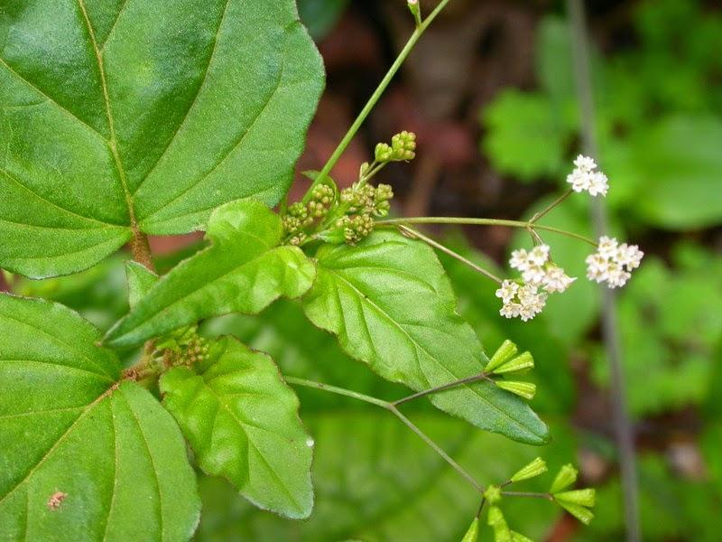 Boerhavia Erecta Plant