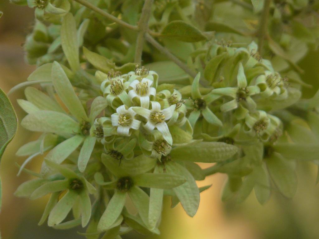 Calycopteris floribunda pullanni pullanji varavalli for Plantes online