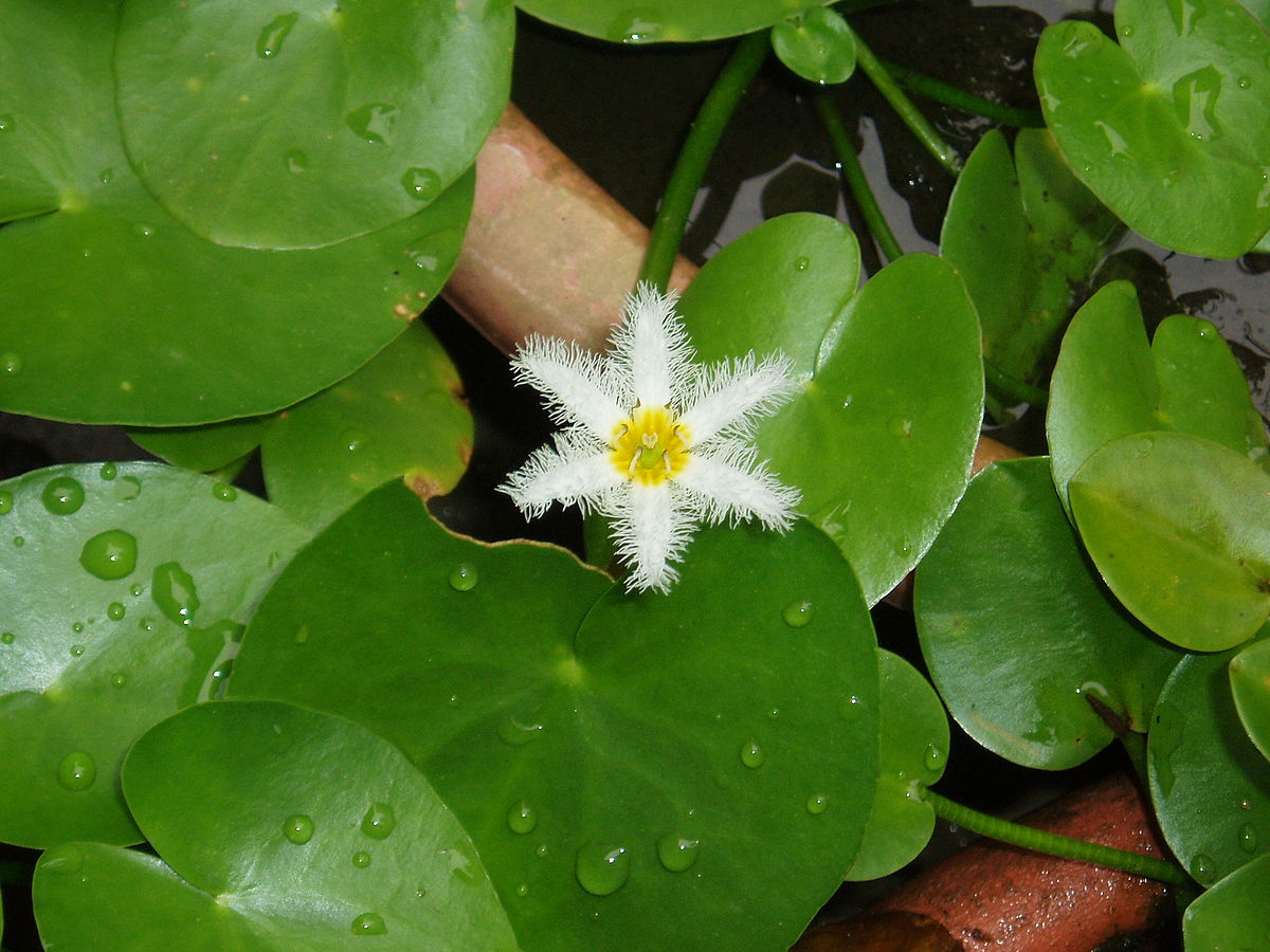 nymphoides indica chinnambal panchi thakaram floating hearts plant buy plants online india. Black Bedroom Furniture Sets. Home Design Ideas