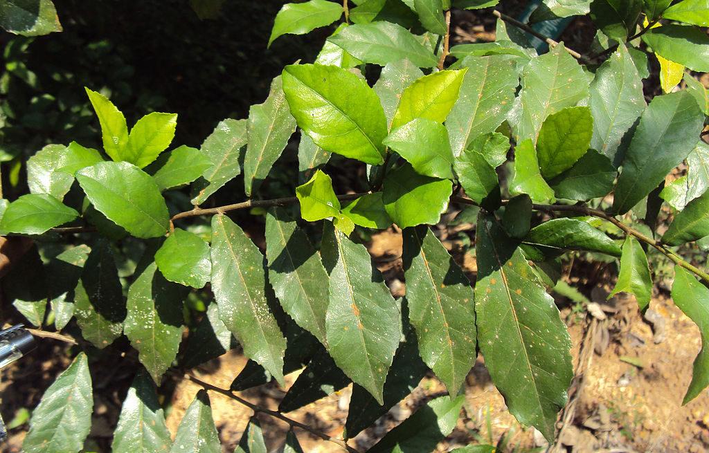 Streblus asper- Dindumaram, Paravamaram, Paruka, Paruva, Shangkoda-vriksham  ,Siamese rough-bush-plant